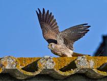 Rötelfalke (Falco naumanni), Castro Verde, Portugal