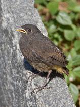 Hausrotschwanz (Phoenicurus ochruros), Jungvogel, Intragna TI
