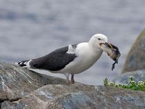 Mantelmöwe (Larus marinus), Hornoya/Varanger, Norwegen