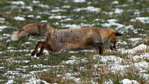 Rotfuchs (Vulpes vulpes), Witzwil BE