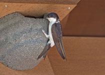 Mehlschwalbe (Delichon urbicum), inspiziert ein Kunstnest, Villnachern