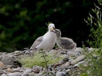 Mittelmeermöwe (Larus michahellis) mit Jungvogel, Windisch AG