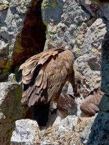Gänsegeier bei der Fütterung eines Jungvogels, Monfragüe-Nationalpark, Extremadura E