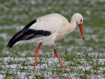 Weissstorch (Ciconia ciconia), Flachsee