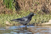 Rabenkrähe (Corvus corone), Klingnauer Stausee