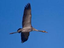 Kranich (Grus grus) Jungvogel, Günzer Wiesen, Mecklenburg-Vorpommern