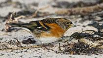 Bergfink (Fringilla montifringilla), Helgoland