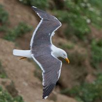 Heringsmöwe (Larus fuscus), Shetland GB