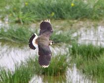Kiebitz (Vanellus vanellus), Wauwilermoos