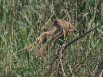 Purpurreiher (Ardea purpurea), Petite Camargue Alsacienne F