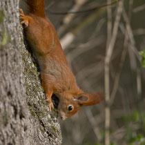 Eichhörnchen (Sciurus vulgaris), Limmatspitz Gebenstorf