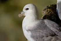 Eissturmvogel (Fulmarus glacialis) Shetland GB
