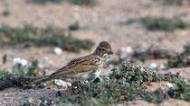 Stummellerche (Calandrella rufescens), Fuerteventura, Spanien