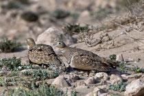 Sandflughuhn (Pterocles orientalis) W, Fuerteventura, Spanien