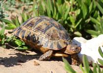 Maurische Landschildkröte (Testudo graeca), Souss, Marokko
