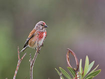 Bluthänfling (Carduelis cannabina) M, Meladia Valley, Lesbos