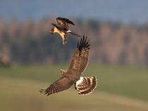 Steppenweihe im Luftkampf mit Kornweihe, Müntschemier BE