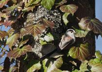 Schwanzmeise (Aegithalos caudatus) am Nest, Villnachern
