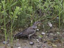 Misteldrossel (Turdus viscivorus), Jungvogel, Petite Camargue Alsacienne