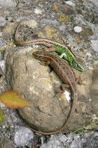 Zauneidechse (Lacerta agilis), Wildegg