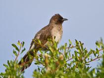 Graubülbül (Pycnonotus barbatus), Agadir, Marokko