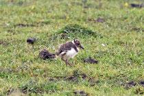 Kiebitz (Vanellus vanellus) Küken, Neeracherried