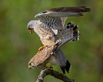 Turmfalke (Falco tinnunculus) Paarung, Hortobagy, Ungarn