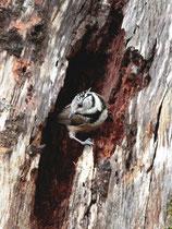 Haubenmeise (Lophophanes cristatus), Ria Formosa (Algarve)
