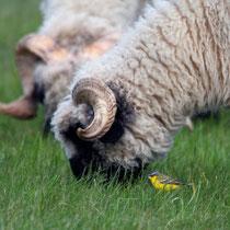 Warum heisst die Schafstelze Schafstelze? (Leuk)
