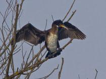 Kormoran (Phalacrocorax carbo), Jugendkleid, Klingnauer Stausee