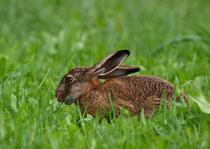 Feldhase (Lepus europaeus), Krümmi FR