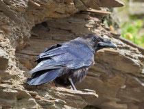 Kolkrabe (Corvus corax), Ekkeroy/Varanger, Norwegen
