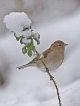 Buchfink (Fringilla coelebs) W im Winter, Villnachern
