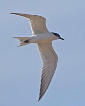 Lachseeschwalbe (Gelochelidon nilotica), Castro Verde, Portugal
