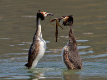 """Haubentaucher beim Balztanz, Klingnauer Stausee. Der Balztanz wird auch als """"Pinguintanz"""" bezeichnet. Die Partner präsentieren einander """"Geschenke"""" in Form von Nistmaterial. Sie halten sich durch rudern mit den Füssen aufrecht im Wasser - ein Kraftakt!"""