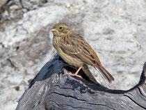Zippammer (Emberica cia), Jungvogel, Leuk VS