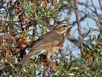Rotdrossel (Turdus iliacus), Helgoland D