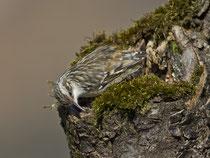 Gartenbaumläufer (Certhia brachydactyla), Rapperswil