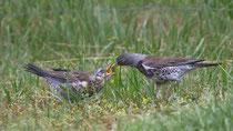 Wacholderdrossel (Turdus pilaris), Jungvogel wird gefüttert, Schloss Hallwil