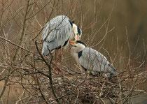 Graureiher (Ardea cinerea), Paar im Nest am Flachsee