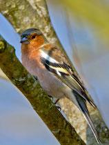 Buchfink (Fringilla coelebs) M, Flachsee