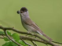 Mönchsgrasmücke M (Sylvia atricapilla), Umiken / Brugg