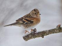 Bergfink (Fringilla montifringilla), Villnachern (Wintergäste)