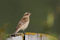 Braunkehlchen, (Saxicola rubetra) Jungvogel, Geschinen VS