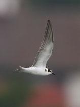 Trauerseeschwalbe JK (Chlidonias niger), Klingnauer Stausee