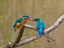 Eisvogel, Weibchen erhält vom Männchen ein Brautgeschenk, La Sauge / Cudrefin