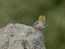 Türkenammer (Emberiza cineracea), Ipsilou, Lesbos