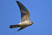 Rotfussfalke (Falco vesperinus), Stille Reuss, Rottenschwil
