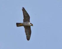 Wanderfalke (Falco peregrinus), Ekkeroy/Varanger, Norwegen