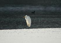 Silberreiher im Schnee, Flachsee